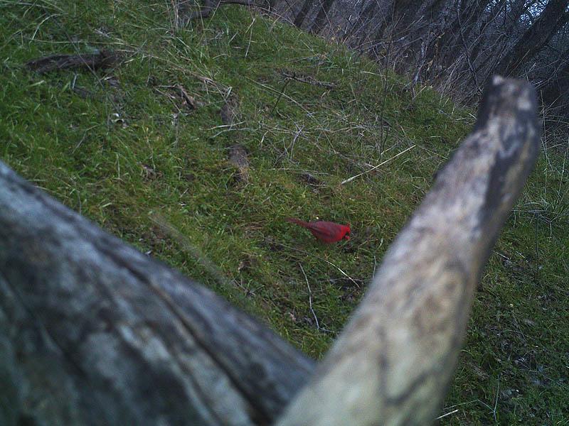 A Northern Cardinal.
