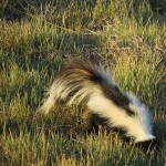 Striped Skunk - Business End