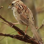 White-throated Sparrow - Wet Weather