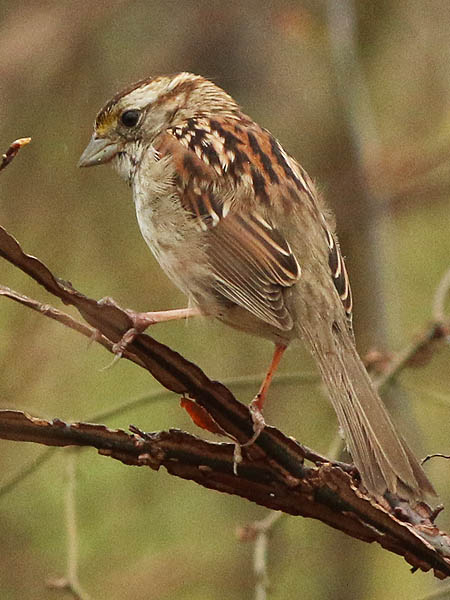 white-throatedsparrow-wetweather-001