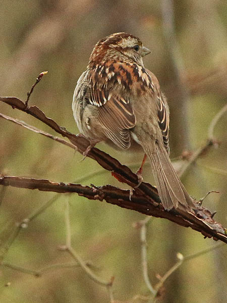 white-throatedsparrow-wetweather-002