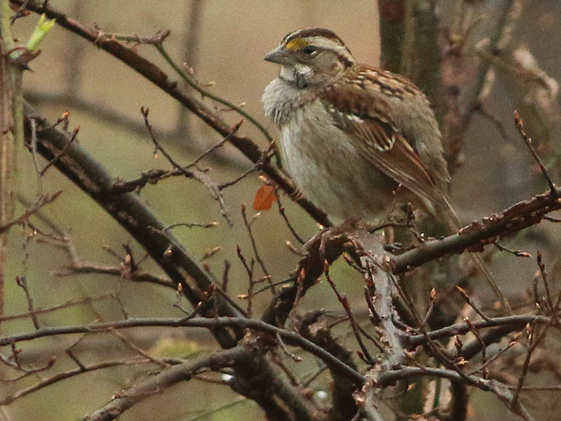 white-throatedsparrow-wetweather-003
