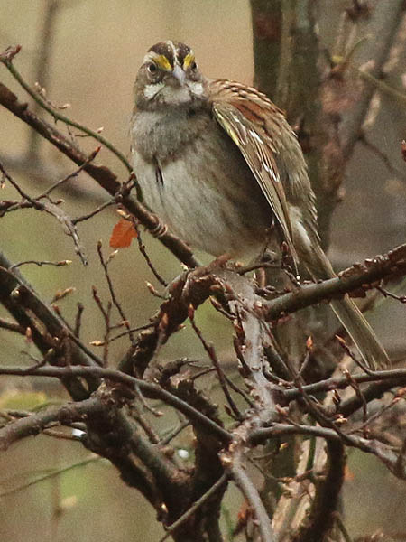 white-throatedsparrow-wetweather-004