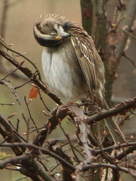 white-throatedsparrow-wetweather-005