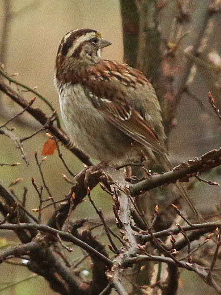 white-throatedsparrow-wetweather-006