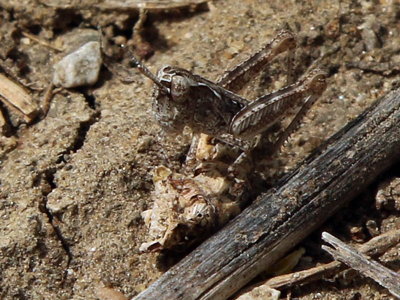 Another look at the possible Texas Spotted Range Grasshopper nymph.