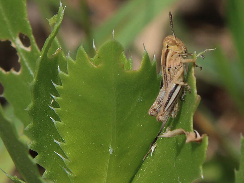 Another Melanoplus nymph with slightly darker coloration.  Each grasshopper nymph in this series is approximately an half inch in length.
