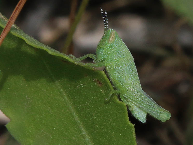 This distinctive looking grasshopper nymph has remained unidentified.