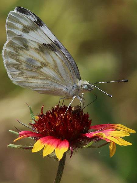 A Checkered White Butterfly feeding on a Firewheel bloom.