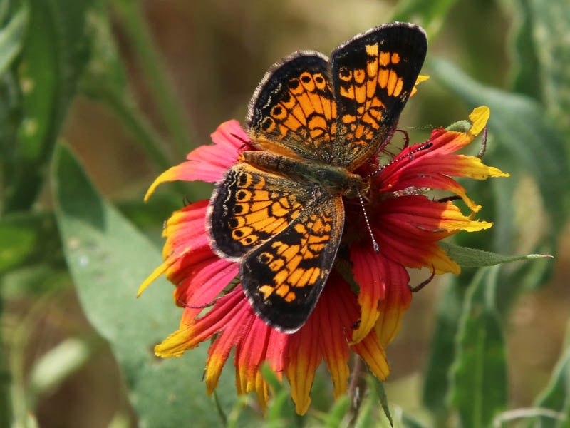 A Pearl Crescent butterfly.