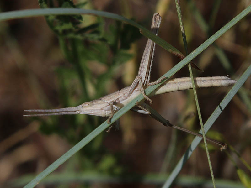 Possibly a Short-winged Toothpick Grasshopper.