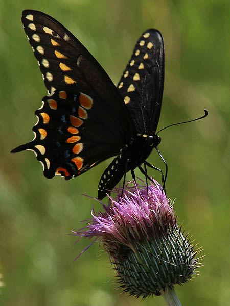 A closer look at the Black Swallowtail.