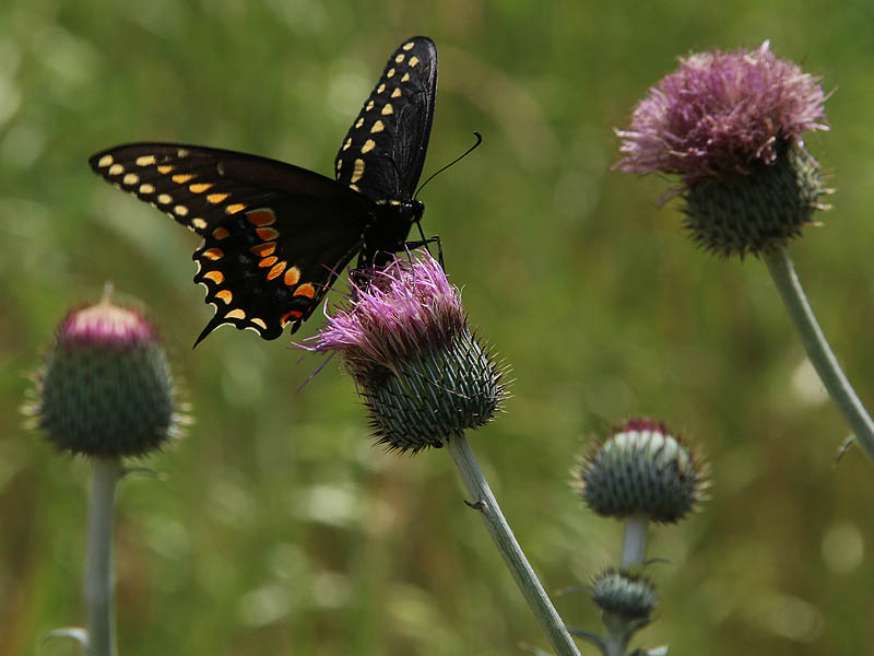 A Black Swallowtail on a Nodding Thistle.