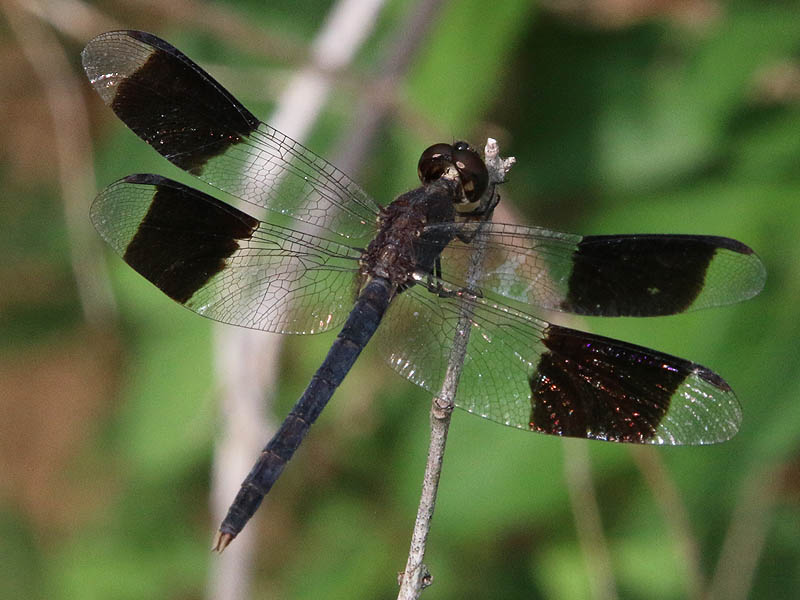 Banded-winged Dragonlet