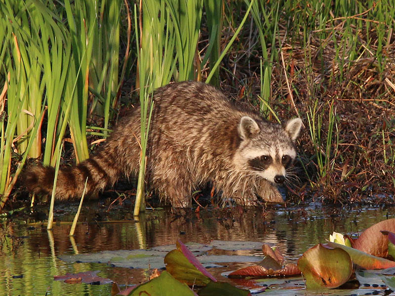 A Raccoon probing beneath the water with his hand-like paws.