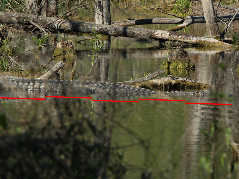 Five feet of alligator are visible in this photograph.  Another foot and a half are just off frame.