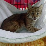 Josey the Orphaned Bobcat Kitten - Update One