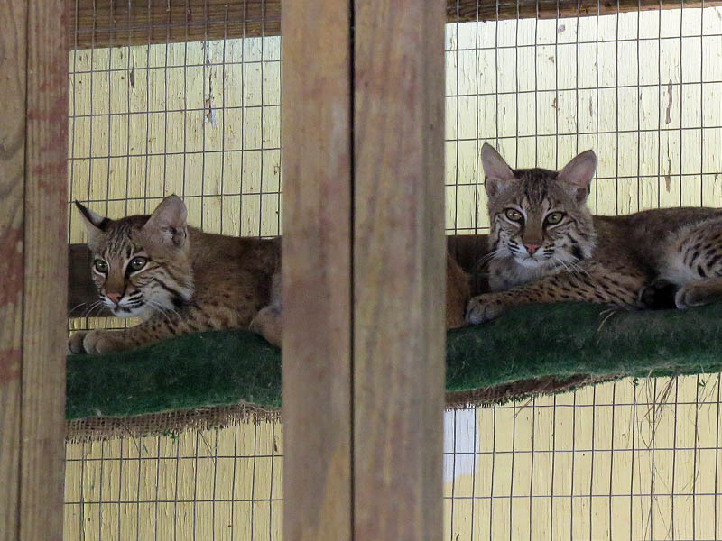 These Bobcats will soon be returned to the wild.