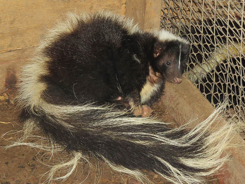 A Striped Skunk.