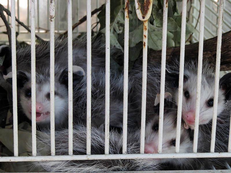 Opossum babies.