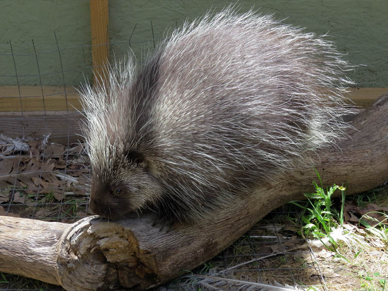 Porcia the Porcupine.