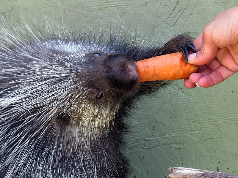 Having a carrot.