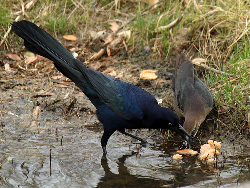 great-tailedgrackle-soggybread-002