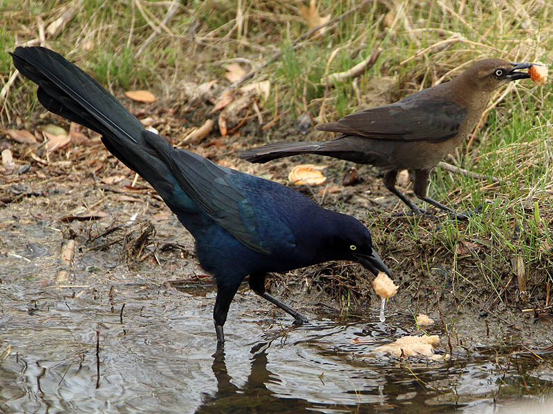 great-tailedgrackle-soggybread-003