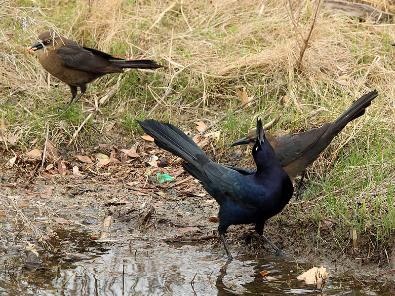 great-tailedgrackle-soggybread-004