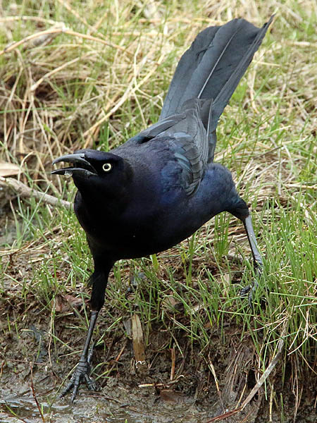 great-tailedgrackle-soggybread-005
