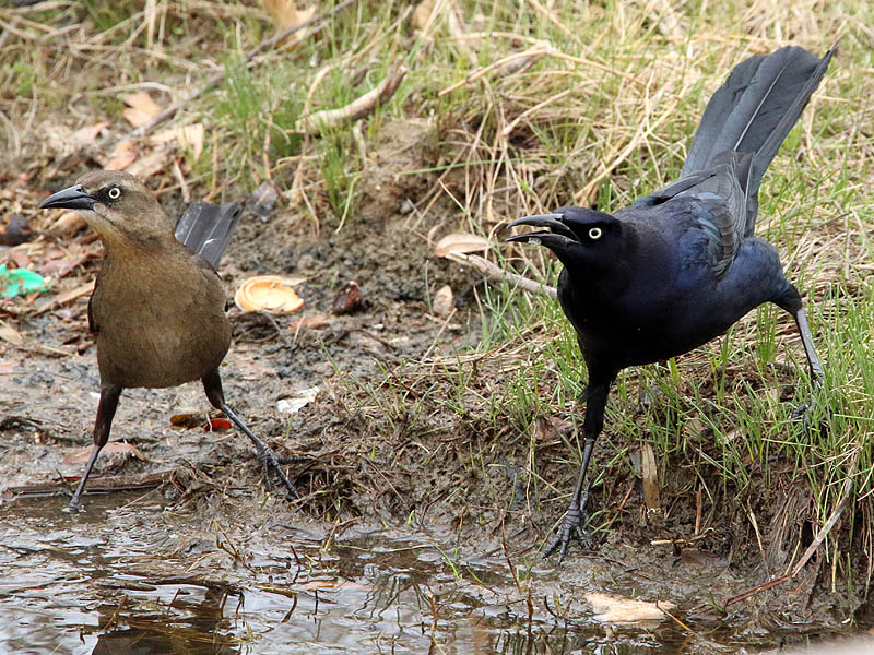 great-tailedgrackle-soggybread-006