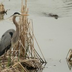 Great Blue Heron - Raider in the Reeds