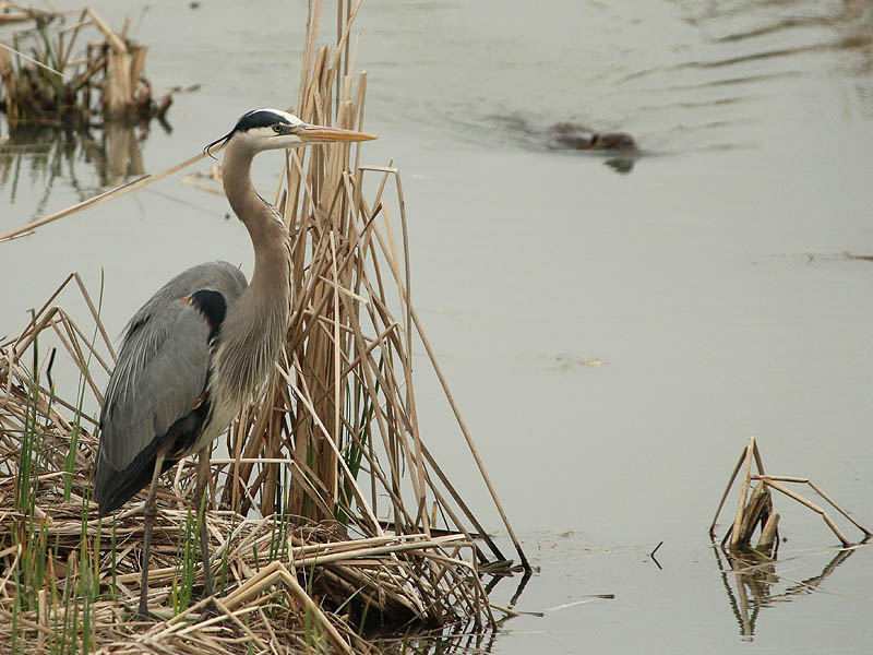 greatblueheron-raiderinthereeds-003