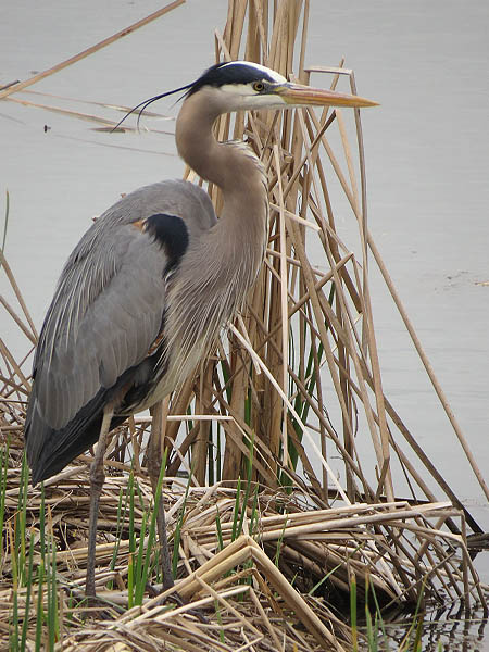 greatblueheron-raiderinthereeds-004