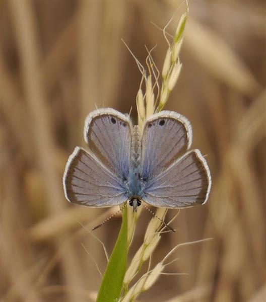 Reakirt's Blue by taogirl.  Click the image to see the observation details in iNaturalist.