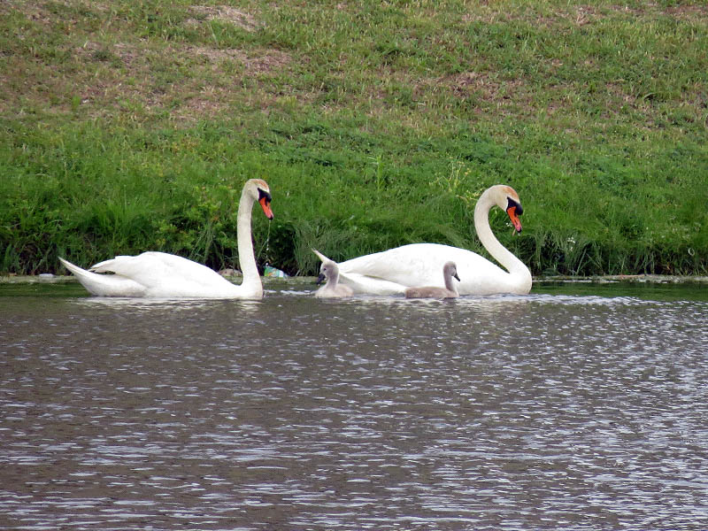 The swan family.  Two adults and two juveniles.