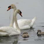 Mute Swan – Nest 2014 Update 7