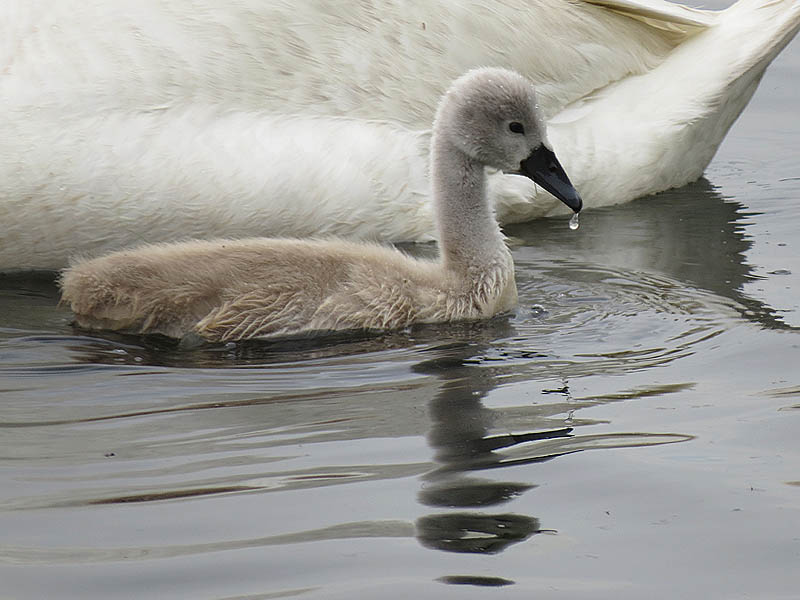 A four and a half week old cygnet.