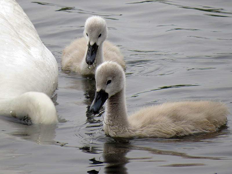 These young swans are nearly the size of full grown Mallards now.