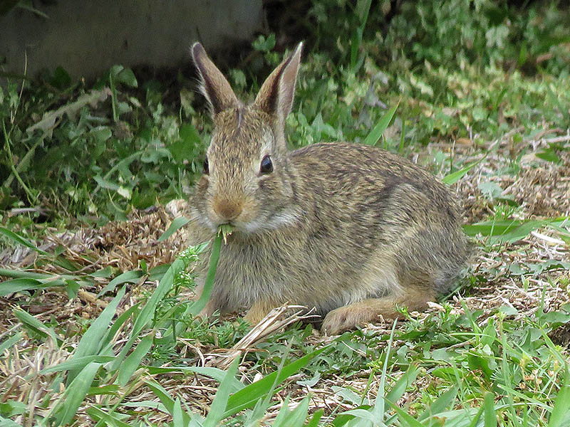 A juvenile Eastern Cottontail feeding on green grass.