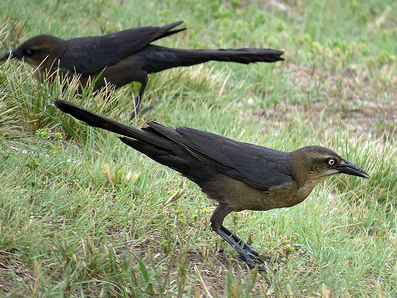 Female grackles searching for food in the short grass.