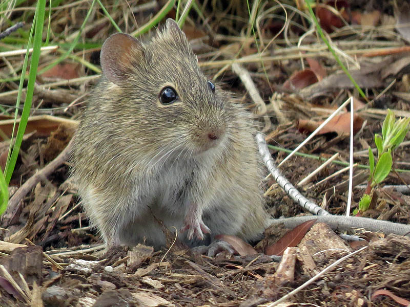 The Hispid Cotton Rat.