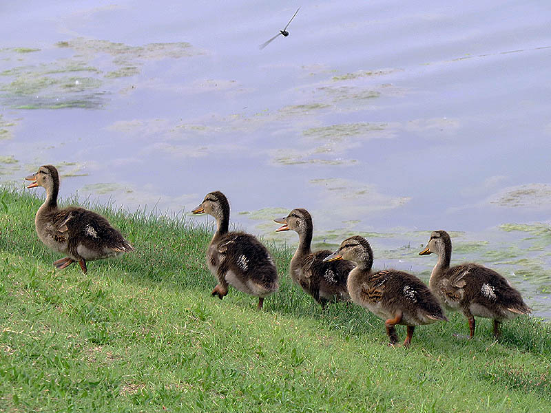 These noisy ducklings are several weeks old.