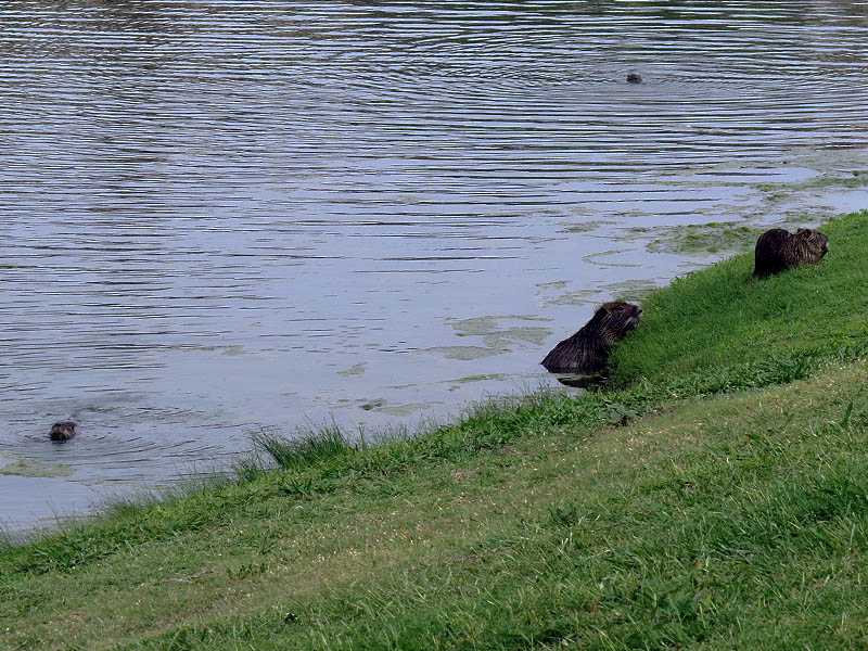 There are four Nutria in this picture.  A mother and three kits.