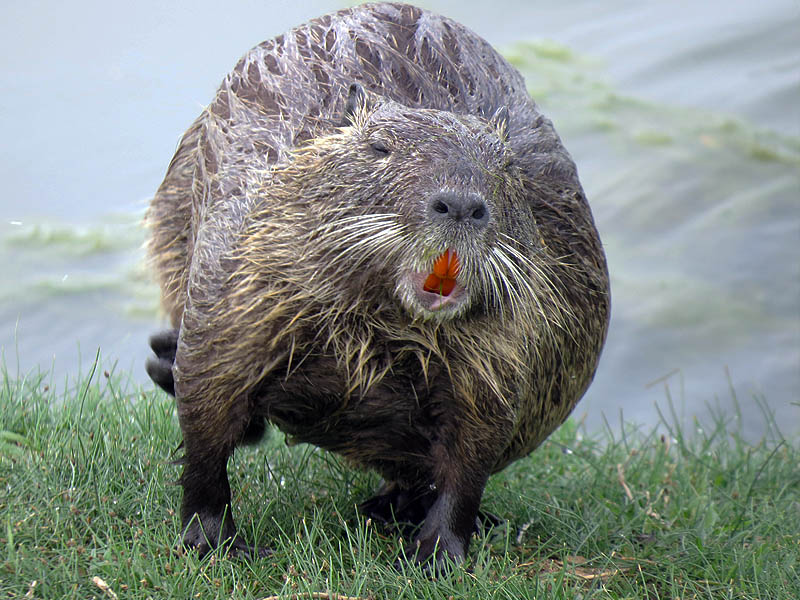 Like all rodents, Nutria have teeth that grow continually, and therefore must be worn down by constant gnawing.