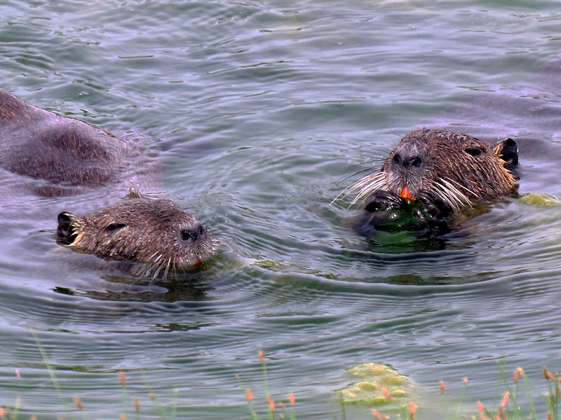 These two Nutria are enjoying the same aquatic vegetation the Mute Swans were feeding on earlier.