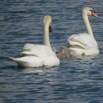 Mute Swan - Nest 2014 Update 6