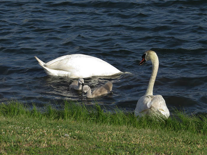 All four swans feeding near shore. Photograph courtesy Sharon Barr.