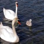 Mute Swan - Nest 2014 Update 8