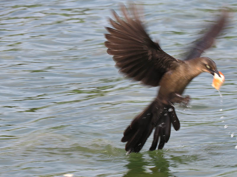 A female grackle snatching a piece of bread in her beak.